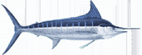7d61f7eb Stripedmarlin Large E1531996195981